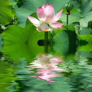yoaga, lotus, détente, ondes positives