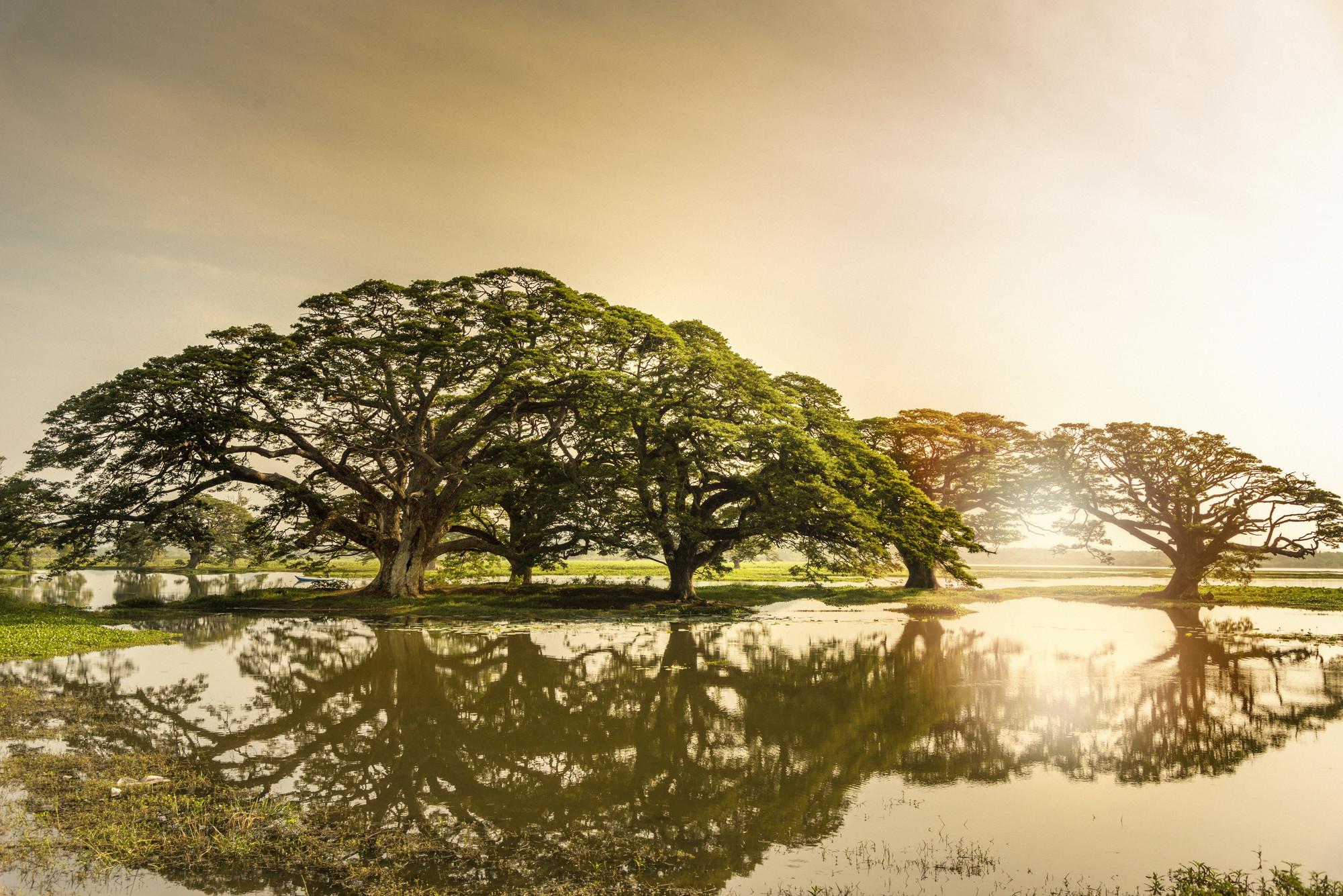 enrichissez-vous voyager au Sri Lanka 7 bonnes raisons - Arbres de pluie