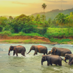 troupeau d'éléphants au Sri Lanka